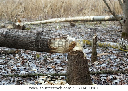 Tree and beavers in autumn forest Stock photo © BSANI
