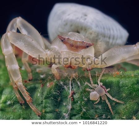 granchio · spider · seduta · fiore · rosso · bianco - foto d'archivio © yongkiet