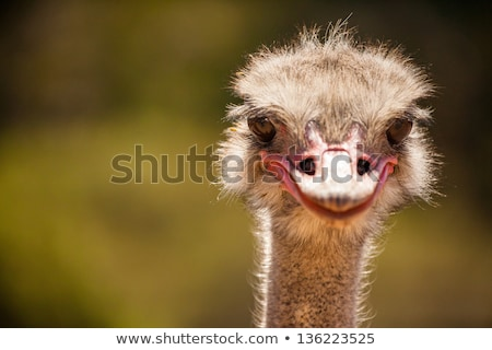 Wild ostrich stares into the camera with its curious gesture. Stock photo © tang90246