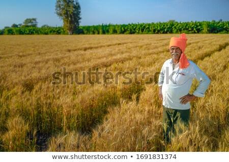 Golden wheat field in india Stock photo © ziprashantzi