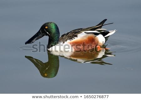 Natação lago água azul pena animal Foto stock © chris2766
