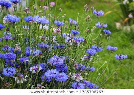 Kék vadvirágok közelkép szép zöld virág Stock fotó © cosma