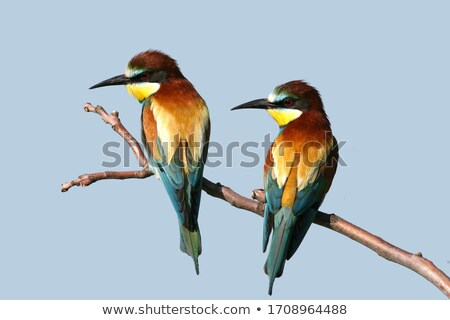 colorful bee eater on twig with blue sky stock photo © gigra