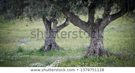 olive tree in Portugal nature Stock photo © compuinfoto