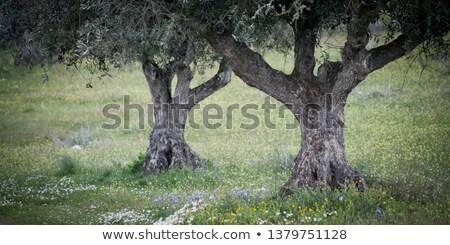 Olajfa Portugália természet arany barna föld Stock fotó © compuinfoto