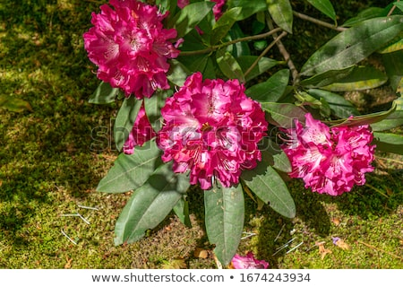 Azalea roze voorjaar bloem tuin Rood Stockfoto © LianeM