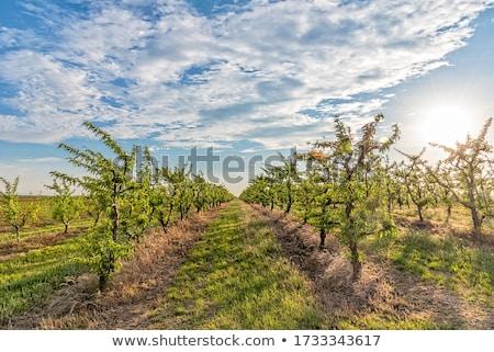 персика незрелый фрукты филиала дерево закат Сток-фото © meinzahn