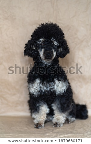 man and standard black poodle Stock photo © cynoclub