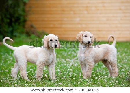 гончая · собака · белый · Постоянный · газона · зеленый - Сток-фото © cynoclub
