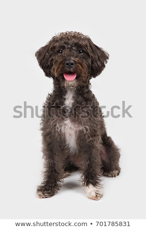 Black schnauzer relaxing in a white studio Stock photo © vauvau