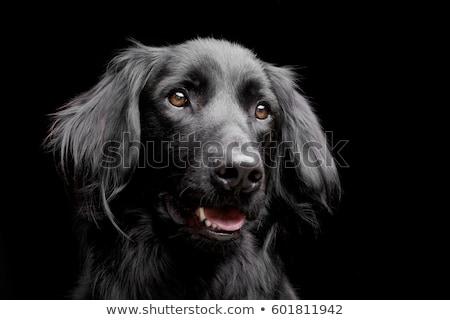 mixed breed black dog portrait in black background Stock photo © vauvau