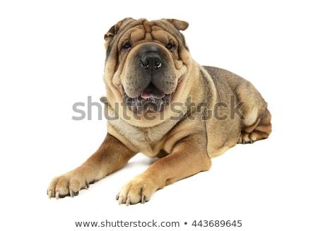 grappig · hond · super · grappig · gezicht · Maakt · een · reservekopie · groen · gras - stockfoto © vauvau