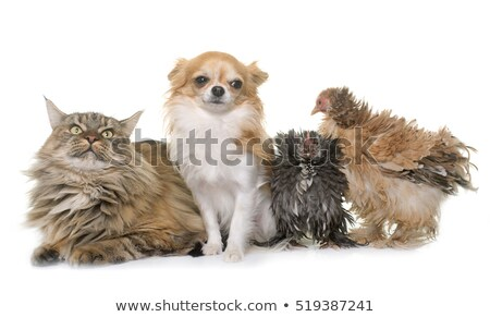 Stock photo: maine coon cat, chicken and chihuahua