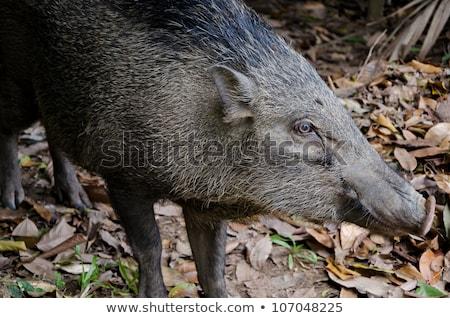 Wild Boar of Pulau Ubin Stock photo © davidgn