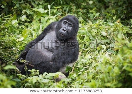 Resting Silverback Mountain gorilla. Stock photo © simoneeman