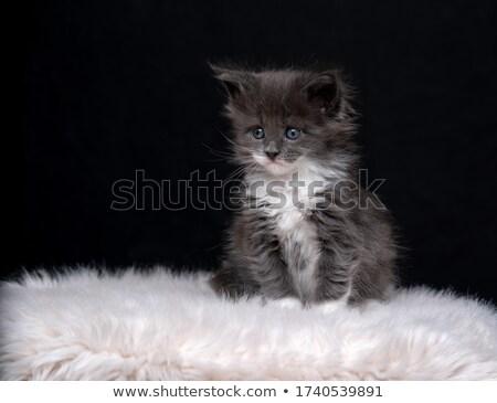 Tiny 4 Week Old Kitten on White Background  Stock photo © tobkatrina