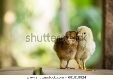 Chicken family with little chick Stock photo © bluering