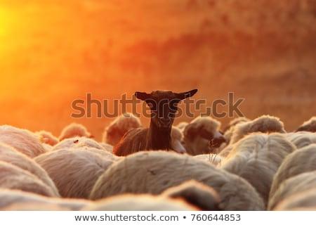dark goat with sheep herd  at dawn Stock photo © taviphoto