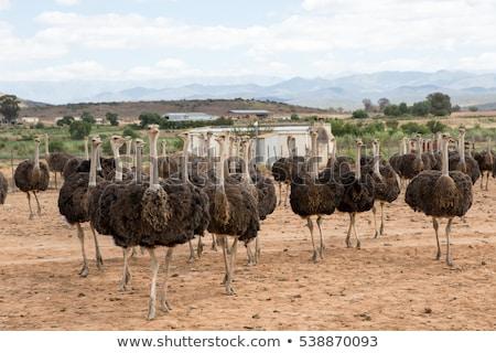 Cabeça avestruz fazenda natureza pena Foto stock © boggy