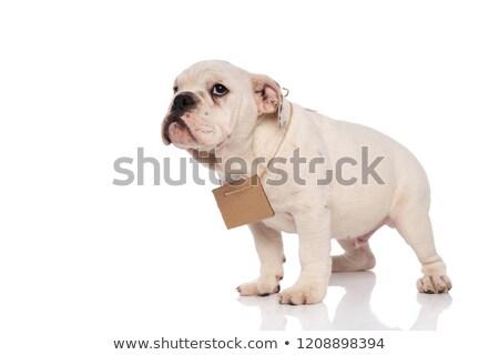 Vue de côté blanche mendiant anglais bulldog permanent Photo stock © feedough