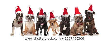 group of seven adorable santa dogs with tongue exposed Stock photo © feedough
