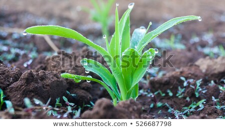 New young grass sprouts Stock photo © Anna_Om
