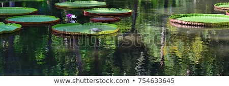 Flower of the Victoria Amazonica, or Victoria Regia, the largest aquatic plant in the world in the A Stock photo © galitskaya