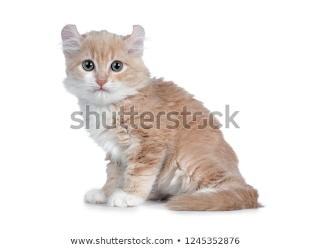 Cute 10 weeks old cream with white American Curl cat kitten Stock photo © CatchyImages