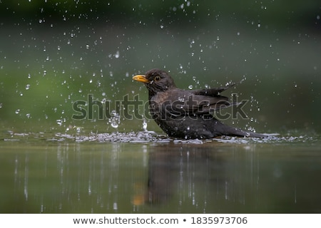 Male blackbird taking a bath in the pond Stock photo © manfredxy