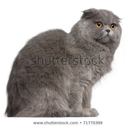 Scottish Fold cat, 11 months old, in front Stock photo © papa1266