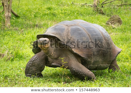 giant galapagos tortoise stock photo © photoblueice