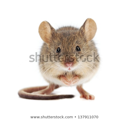 Tiny Mouse Stock photo © benchart