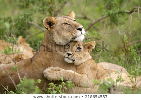 two african lioness with cubs stock photo © ajlber