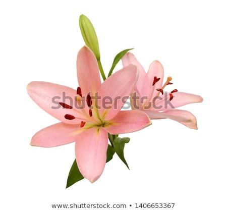 lily 2 stock photo © dolgachov