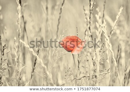 Colourful red Flanders or Corn Poppies Stock photo © smithore