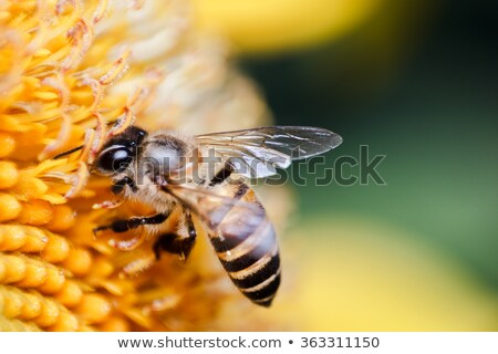 close up of bee on blossom sunflower stock photo © seiksoon