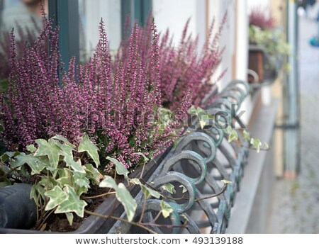 Pink and purple heather and ivy in decorative flower pot Stock photo © dashapetrenko