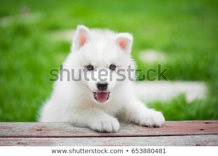 白 · 犬 · 芝生 · 座って · 草 · カバー - ストックフォト © rhamm