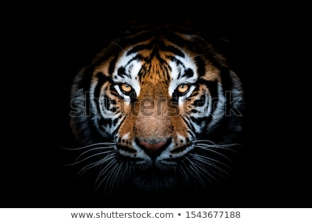 portrait predator tiger  Stock photo © OleksandrO