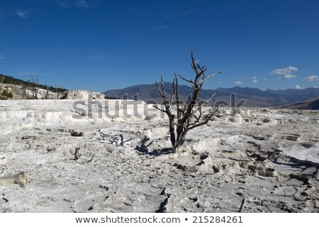 Dead Trees standing in hot springs within Yellowstone National P Stock photo © tab62