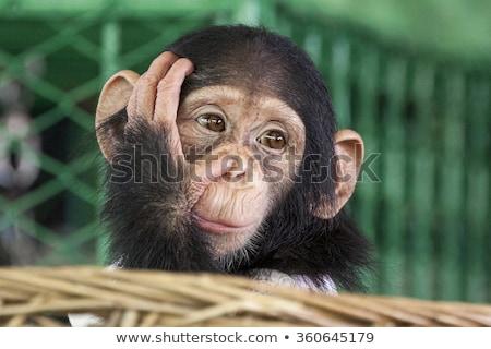 şempanze · çim · kadın · oturma · bakıyor · kamera - stok fotoğraf © ivanhor