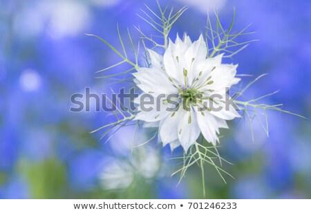 White nigella flower  Stock photo © sarahdoow