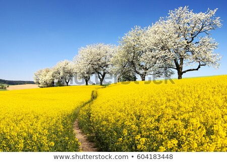 Countryside road and golden field of rapeseed. Stock photo © lypnyk2