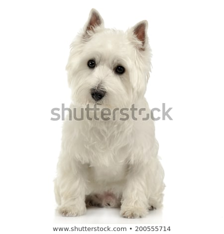 west highland white terrier sitting on the white studio floor stock photo © vauvau