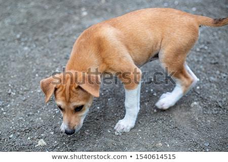 Puppy  cairn terrier sitting on the floor Stock photo © vauvau