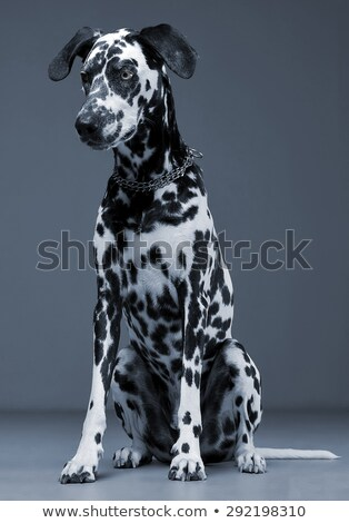 cute dalmatians sitting and looking down in blue background phot stock photo © vauvau
