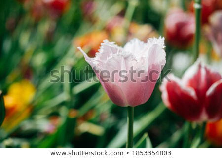 foto · hermosa · colorido · tulipanes - foto stock © massonforstock