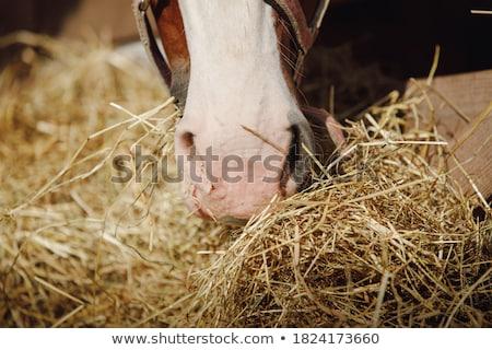 White horse at the feeder Stock photo © hamik