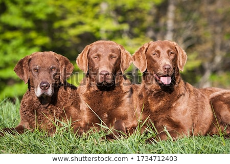 labrador · perro · mirando · curiosidad · casa · mascota - foto stock © is2