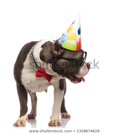 gentleman american bully wearing birthday hat looks to side stock photo © feedough